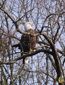 eagle2016-231x300
