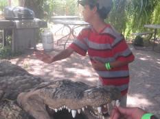 aligator13