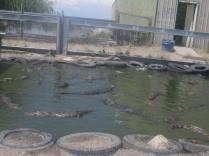 aligator5